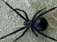 Семья обнаружила в диване своей квартиры ядовитого паука