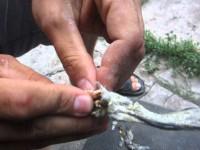 ВИЧ-инфицированные заключенные Бердянской колонии чистят зубами бычков на продажу (Видео)
