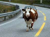 Житель Запорожской области сбил корову
