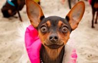 Жительницу Запорожской области оштрафовали за выгул карманной собачки без намордника