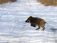 «Метнуться кабанчиком»: запорожский фотограф поделился милыми фото из дикой природы
