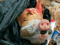 В Запорожье прохожих напугала голова свиньи с гранатой во рту
