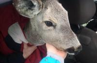 Косуля, спасенная патрульными, находится под опекой зоозащитницы – нужна помощь