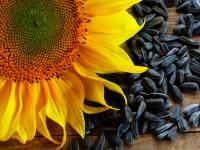 Подсолнечник: применение, особенности, покупка семян