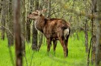 Запорожскому фотографу удалось близко подобраться к оленям, живущим на Хортице