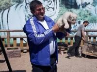 Новорожденного в бердянском зоопарке тигренка в будущем хотят скрестить со львом-альбиносом (Видео)
