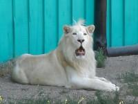 В бердянском зоопарке белый лев переселился в Vip-квартиру для хищников (Видео)