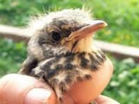 Запорожская зооволонтер призвала не подбирать «выпавших из гнезд» птенцов