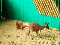В бердянский зоопарк привезли кенгуру: животных ждали 5 лет