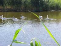 В Запорожскую область, спасаясь от обстрелов, переселилась стая лебедей