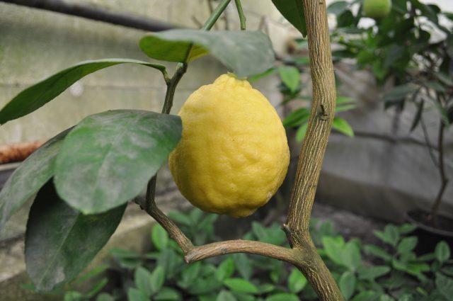 лимон-640x425