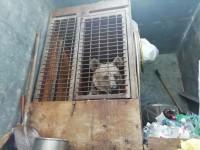 Медведица живет в тесной клетке на автостоянке из-за запрета выступать в цирках с животными (Видео)
