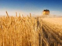 Запорожские аграрии намолотили первый миллион тон зерна в условиях жесткой засухи