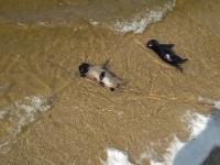 На центральный пляж Запорожья выбросило мертвых щенков