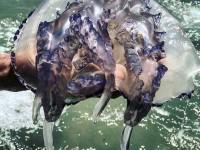 У берегов Кирилловки появились огромные медузы: экологи рассказали причину