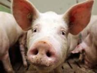 В Запорожской области свиньи гибнут от африканской чумы