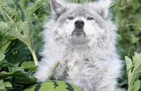 В Запорожской области хищники уничтожают арбузные поля