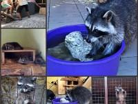 В зоопарке под Запорожьем поселились «пушистые бандиты»