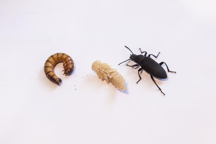 """Три стадии развития зоофобусов: личинка, """"куколка"""" и жук"""