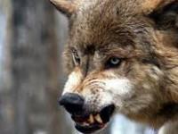В запорожском селе волки разрывают домашний скот на глазах у селян