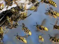Запорожцев предупредили об агрессивности ос и пчёл