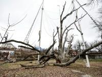 Запорожский дуб хотят лишить статуса ботанической памятки