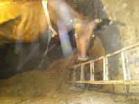 В селе под Запорожьем корова провалилась в подвал