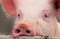 Под Запорожьем нашли свалку свиных костей и шкур (Видео)