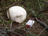 Житель Бердянска обнаружил во дворе своего дома огромный гриб (Фото)