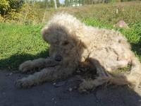 На трассе под Запорожьем нашли брошенного пуделя: собаке нужна помощь (Фото)