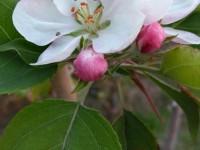 В разгар осени в Запорожской области зацвела яблоня (Фото)