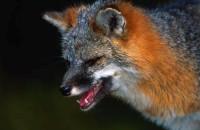 В Запорожской области из-за бешеных лис ввели карантин