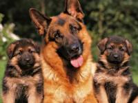 Как выбрать щенков немецкой овчарки