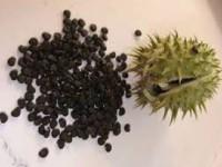 Девочка из Запорожской области отравилась семенами дурмана