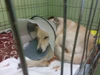 Запорожскую собаку, которая снялась для Vogue в Нью-Йорке, чудом спасли после отравления
