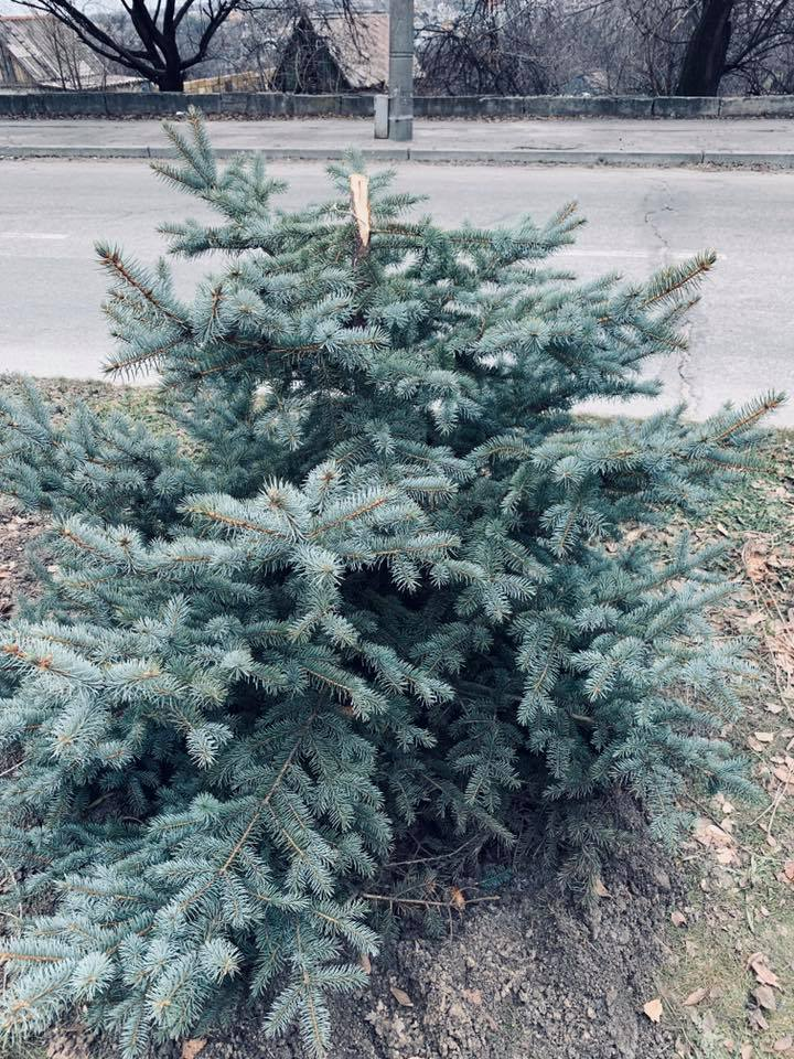 На Победе сломали елки, которые коммунальщики выращивали 18 лет