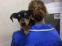 Запорожцы подбросили в ветеринарную клинику щенка таксы (Видео)