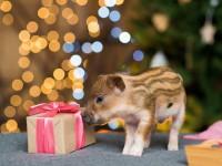 Уроки доброты:  в канун года Свиньи волонтеры просят не дарить хрюшек, от которых потом избавляются