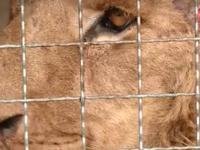 В васильевском зоопарке умер привезенный из Покровска лев