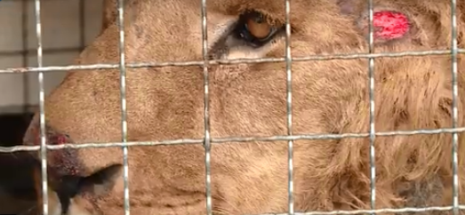 Львы с кровавыми ранами и запуганные медведи: в Васильевку привезли спасенных хищников (Видео)