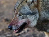 СМИ: в Бердянском районе троих людей покусал волк