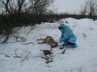 Волку, покусавшему троих людей, отрезали голову – подозревают бешенство