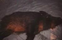 В заповедной зоне Хортицы браконьеры застрелили кабана