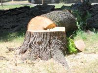 На проспекте Маяковского вырубят еще 70 деревьев