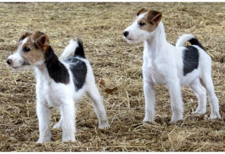 Так выглядит здоровая собака породы джек-рассел