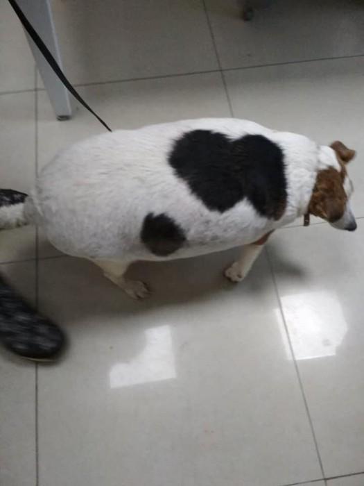 Так выглядит собака, которую закармливали гормональными таблетками