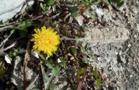 Весна близко: под Запорожьем зацвели одуванчики