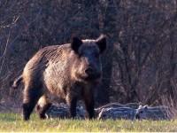 На Хортице уничтожат всю популяцию диких кабанов