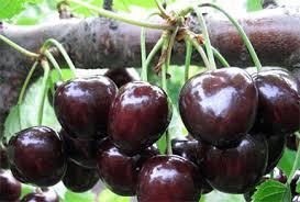 Мелитопольскую черешню будут продавать в арабские страны