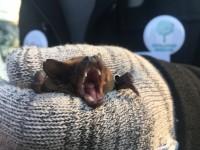 На Хортице выпустят сотню летучих мышей
